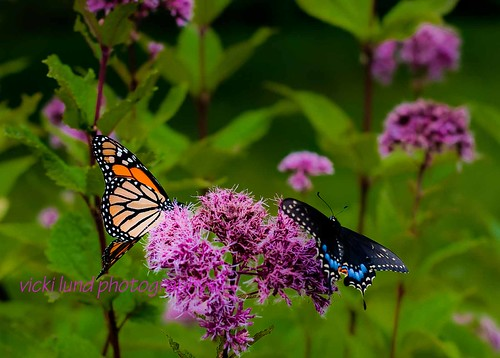 Butterfly Friends | by Vicki Lund Photography