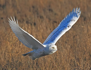 SNOW OWL FLY-BY-1C | by Evergreen_Photography