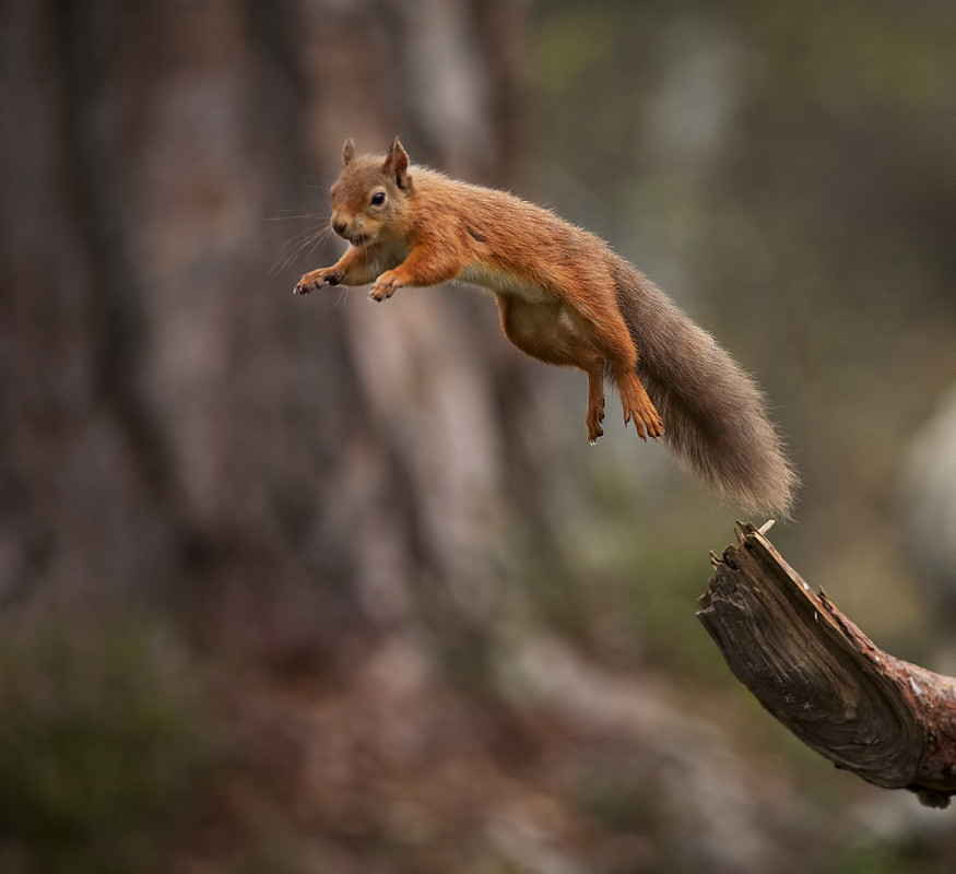 red jump fly squirrel - photo #1