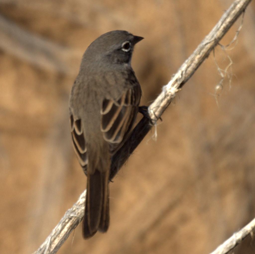 Sage Sparrow Uc Riverside Botanic Gardens Riverside Ca Mike 39 S Birds Flickr