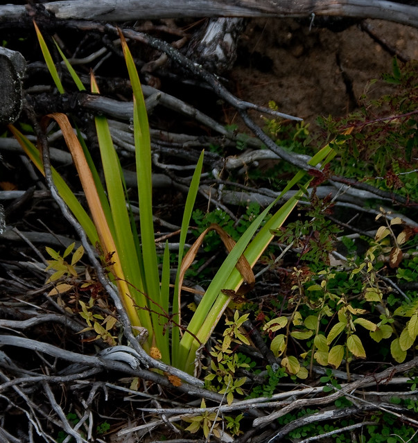 how to kill iris roots