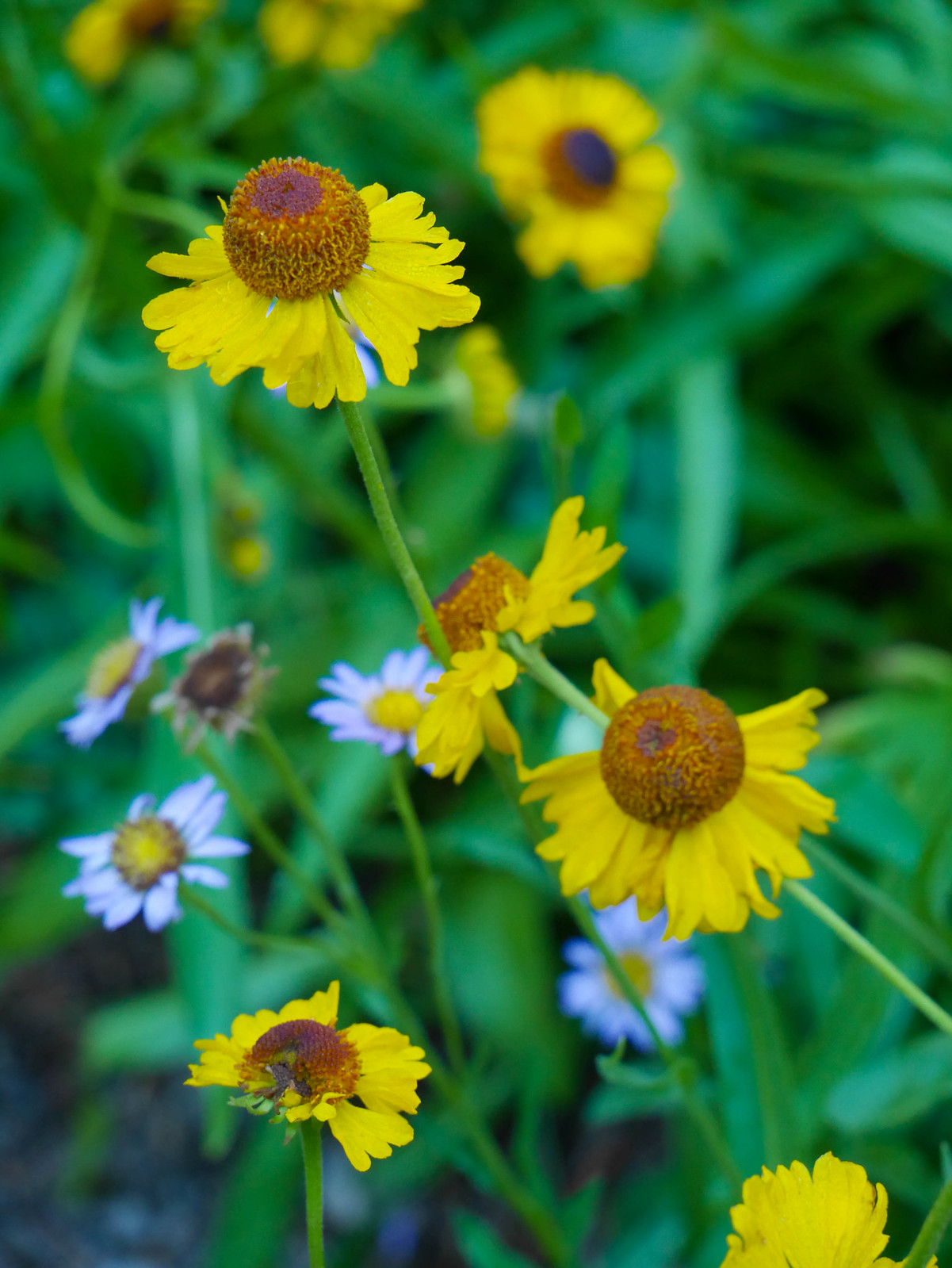 These flowers have the endearing name of sneezeweed.
