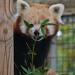 Red panda 07