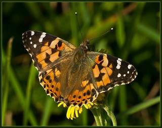 Painted Lady | by anthonynixon17