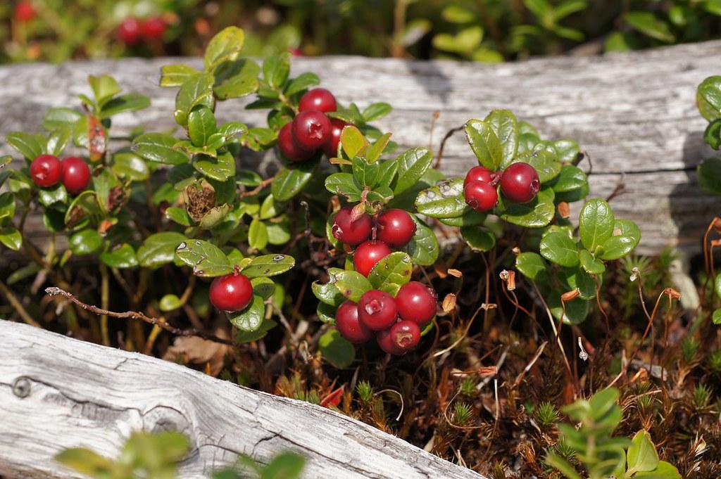Как лесные ягоды могут заменить БАДы