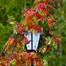 Mountain ash tree in autumn