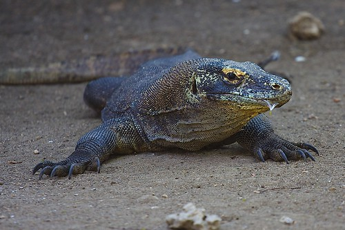 Komodo Dragon | by Fede Lacroze