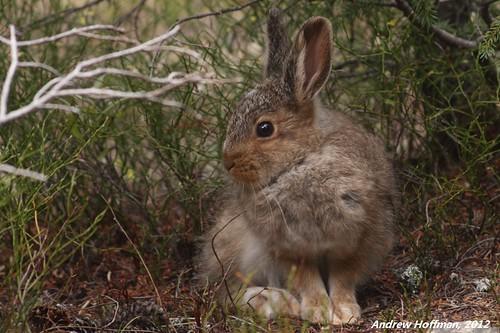 Lepus americanus (Snowshoe Hare)