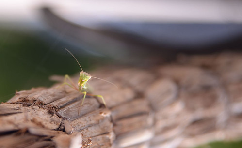 Mantis | by ■AmirBahram■