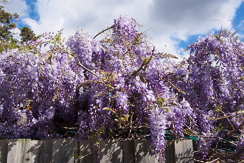 Wisteria over the fence | by hyteng