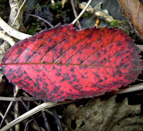 Red And Speckled! | by 'cosmicgirl1960' NEW CANON CAMERA