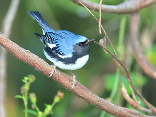 Black-throated Blue Warbler male 5-20121009 | by Kenneth Cole Schneider