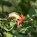 Crested White-eye(Lophozosterops dohertyi)