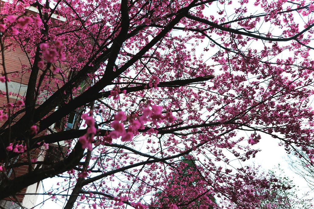 cingjing-farm-hot-pink-cherry-blossoms