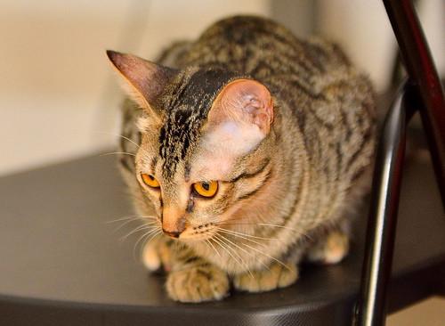 Muriel, gatita atigrada parda tímida y dulce esterilizada, de ojos cobrizos, nacida en Abril´16, en adopción. Valencia. 29578738186_130cc8577d