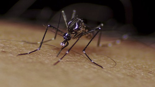 Aedes aegypti mosquito | by Sanofi Pasteur