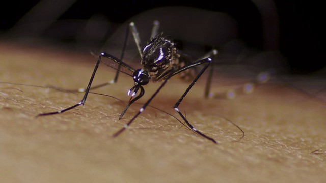 The female Aedes aegypti mosquito is one of the deadliest animals in the world causing major diseases such as the West Nile Virus, Malaria, Yellow Fever, Chikungunya, Zika and Dengue.