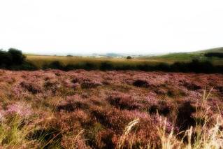 Yorkshire Heather | by theseanbee