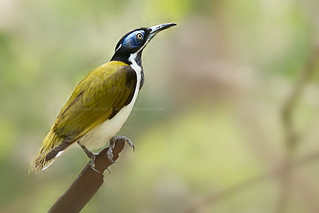 Blue-faced honey eater | by Louise Denton