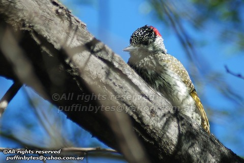 Golden-tailed Woodpecker - Campethera abingoni | by puffinbytes