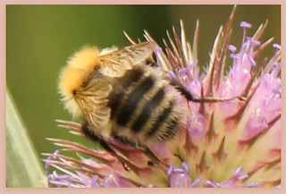 Fuzzy Bee on thistle | by Gillian Haygreen