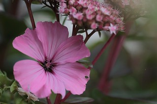 Pink&pink in the shade | by mennomenno.