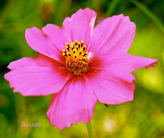 Pretty in Pink | by David C Burnett