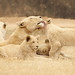 Um filhote de leão... um raio da manhã