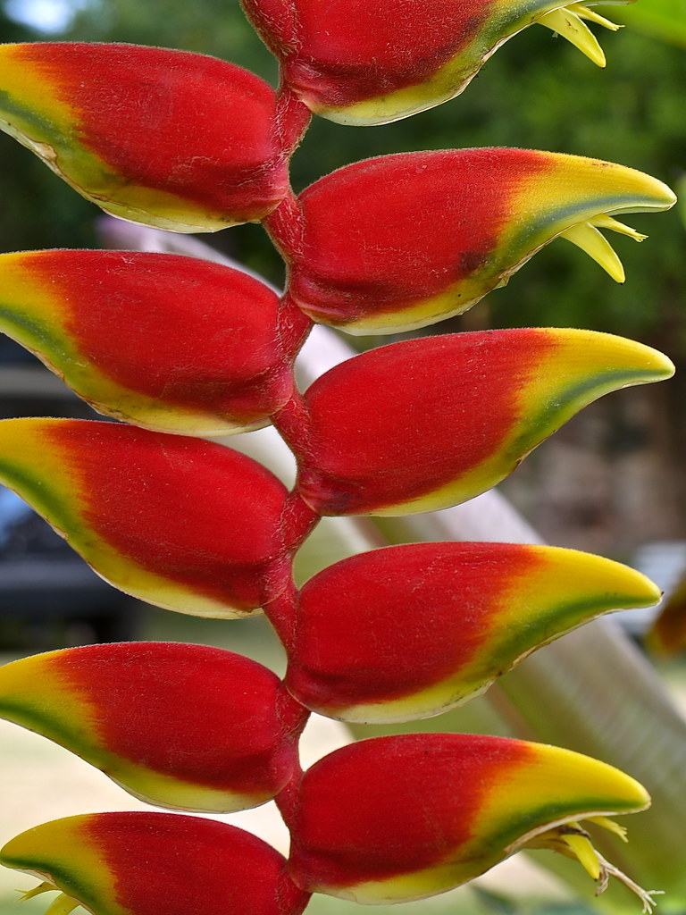 Plants (Helicônia / Heliconia / lobster claw flower) - Len… | Flickr