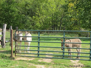 Dolores and Daphne doing the donkey treat death stare - and bringing the kid in to help | by Farmgirl Susan