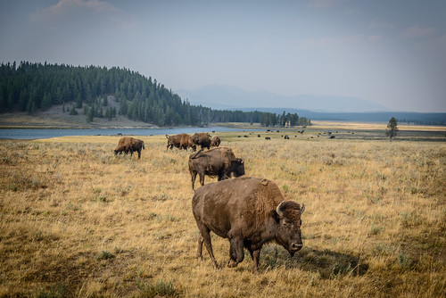 Bison of Yellowstone 2012.09.04 - 1.jpg | by JasonianPhotography