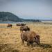 Bison of Yellowstone 2012.09.04 - 1.jpg