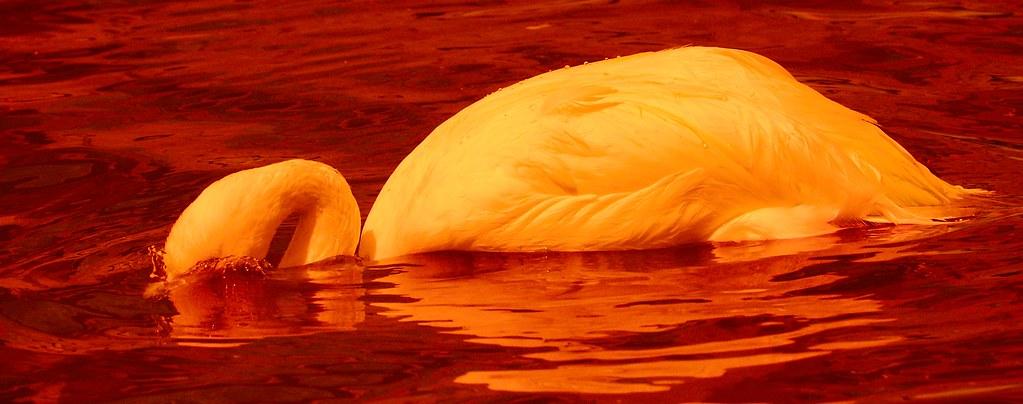 Flamingo_12