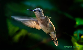 Female Ruby-throated Hummingbird in Flight | by Robert Scott Photographyy