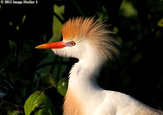 Cattle Egret - Breeding Plumage | by Image Hunter 1