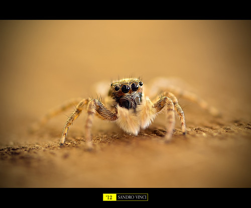 Jumping spider [Explore] | by Sandro Vinci