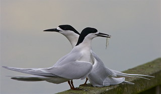 Courting Tara - white-fronted tern - Sterna striata | by Steve Attwood