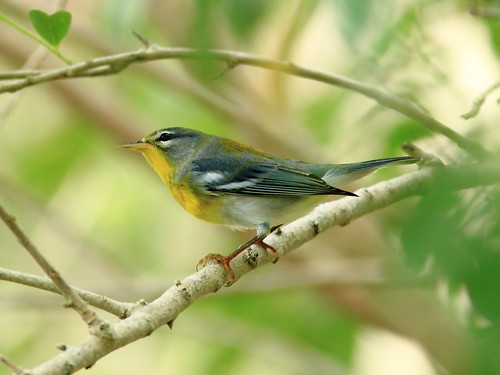Northern Parula 20120919 | by Kenneth Cole Schneider