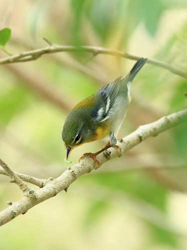Northern Parula 2-20120919 | by Kenneth Cole Schneider