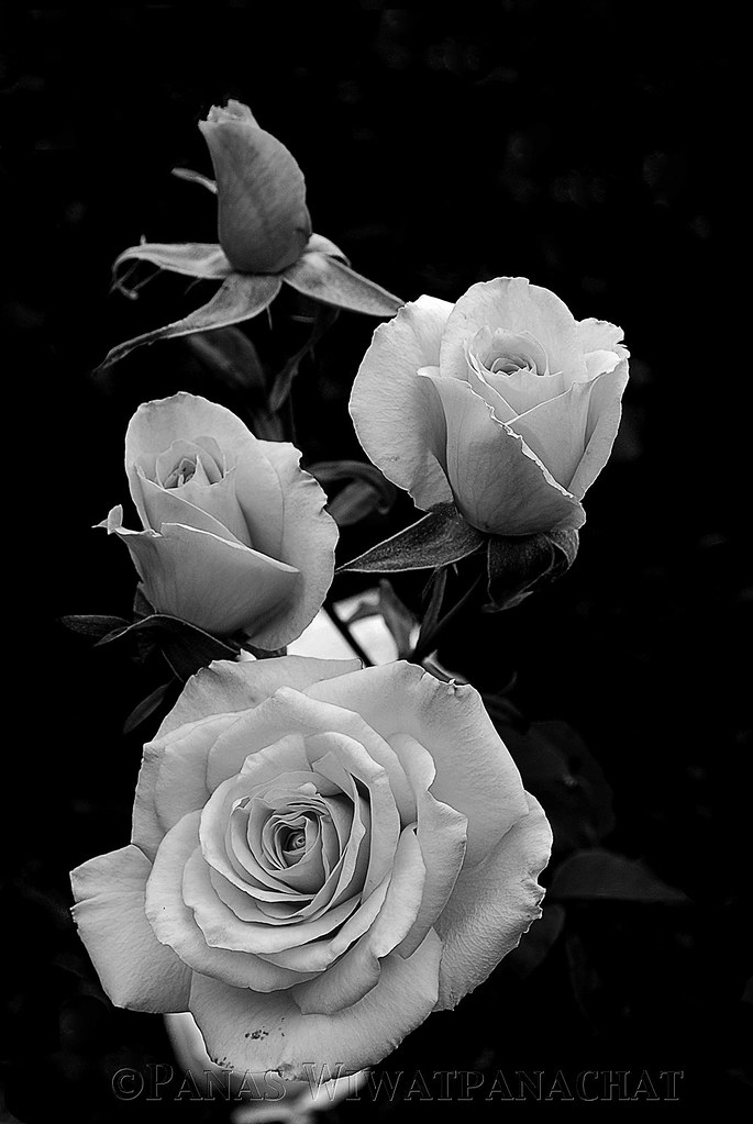 Black And White Roses Panas Wiwatpanachat Flickr