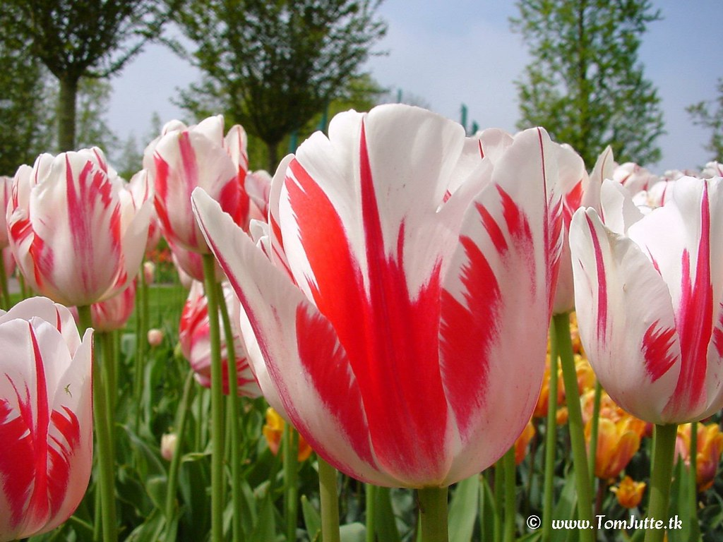 DutchTulipsKeukenhofGardensHolland3952PotdFlickr