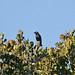 Short-tailed Starling (Aplonis minor)
