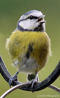 Blue Tit Singing | by GemElle Photography - off & on sorry