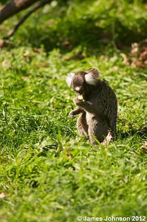 white tufted marmoset monkey eating | by jjohnson2012