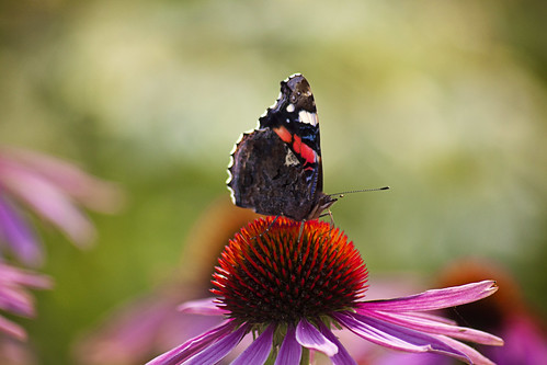 Butterfly on Cone flower | by horrigans