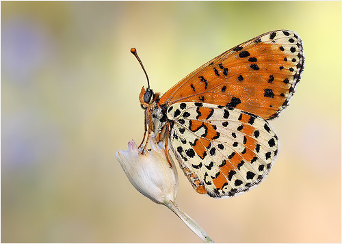 Spotted Fritillary | by nigel kiteley2011
