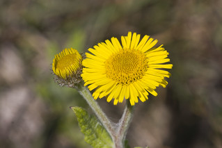 Common Fleabane (Pulicaria dysenterica) | by Steve_C