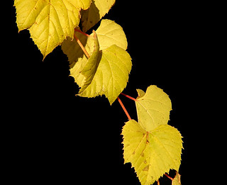 Autumn Vine | by Kevin@Nugent