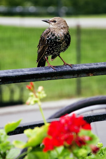 European Starling | by www.LKGPhoto.com