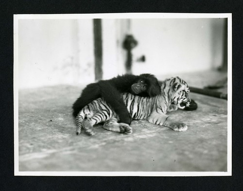 Primate and tiger cub  photographed during the National Geographic Society-Smithsonian Institution Expedition to the Dutch East Indies, 1937 | by Smithsonian Institution